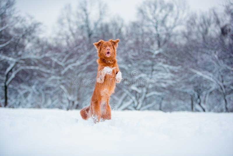 Nowy Szkocja aporter skacze i zostaje przy dwa nogami przy snowing zimą obrazy royalty free
