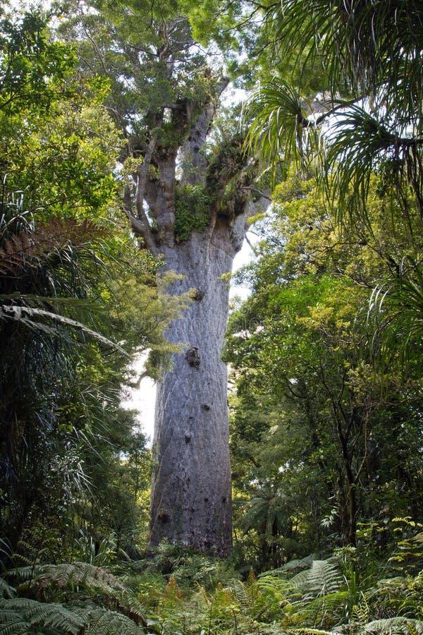 Nowy Zealand, kauri tane drzewny mahuta obrazy royalty free