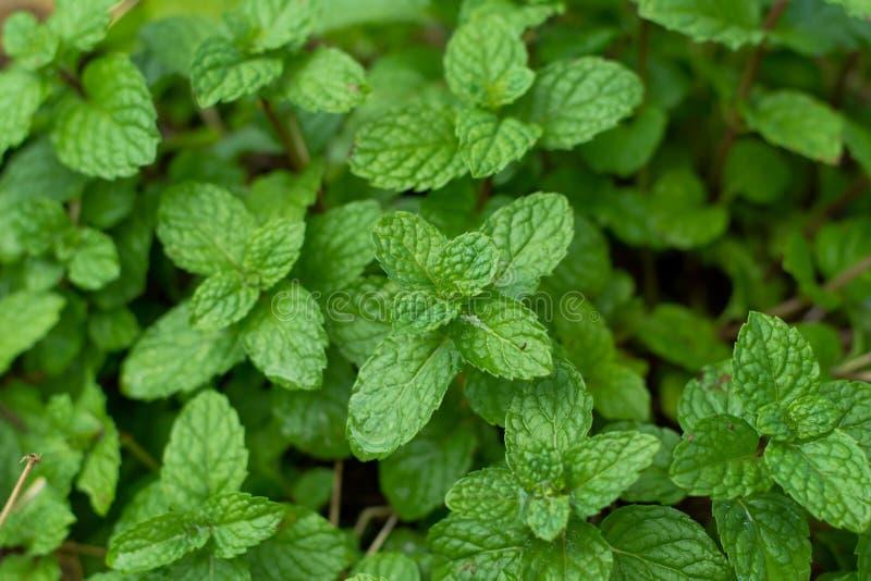 Nowych liści tło miętówka Liście mennica na zielonym tle Zbliżenie świeżych mennic liście tekstura lub abstrakta backgrou zdjęcie stock