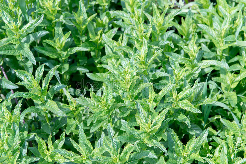 Nowych liści tło Zbliżenie miętówki świezi liście na zielonym tle Kojące własność miętówka Zielona soczysta mennica gr obrazy stock
