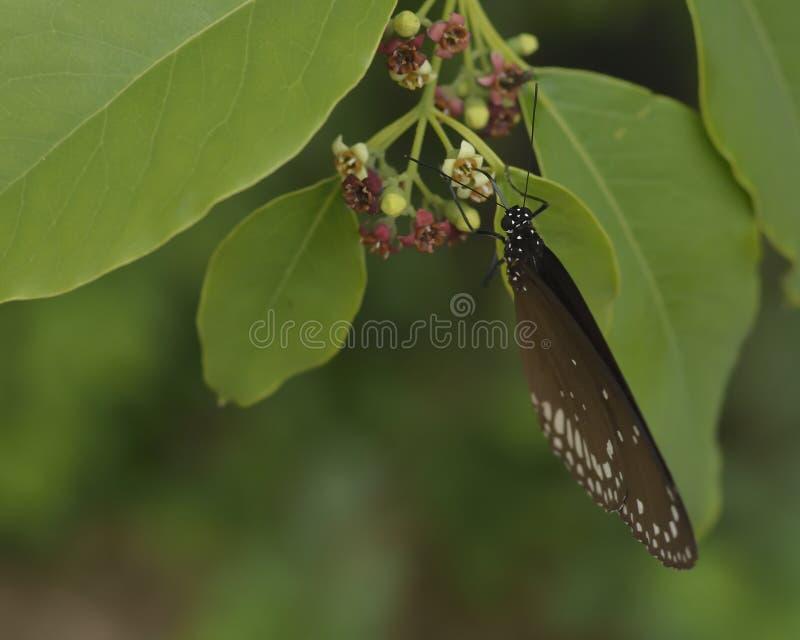 Noyau d'Euploea, siroter commun de papillon de corneille photos libres de droits