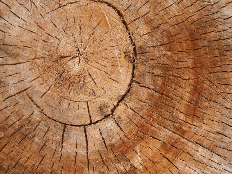 Noyau de chêne photographie stock