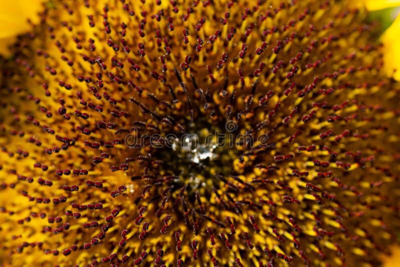 Noyau de tournesol de la fleur photo libre de droits