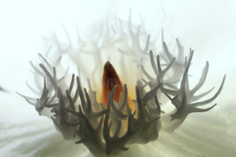 Noyau en gros plan de fleur photo libre de droits