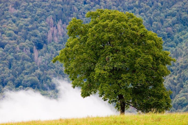 noz-árvore fotografia de stock royalty free