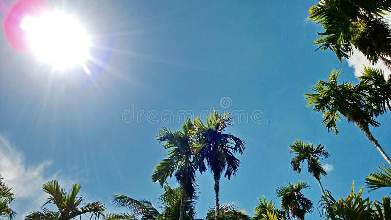 Noz de Betel com coco, de vista baixa, céu azul claro ao sol, nuvens brancas claramente fotos de stock royalty free