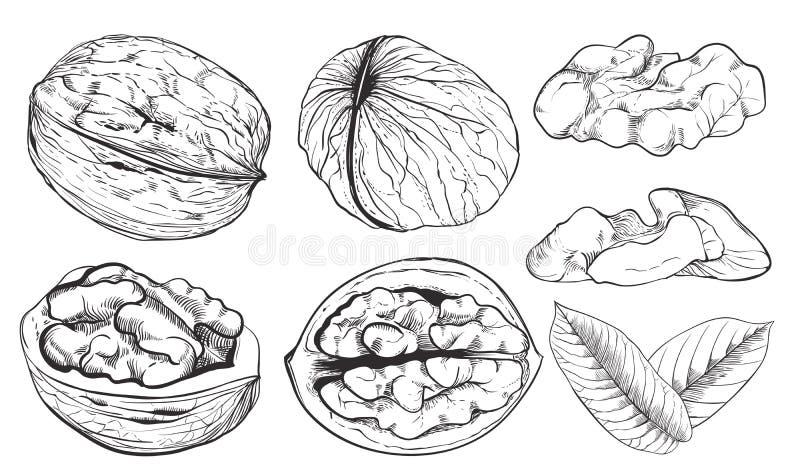Noz do vetor no fundo branco Porcas isoladas ilustração do vetor