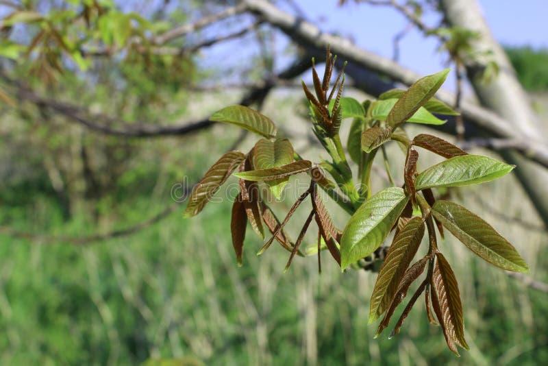 A noz emergente sae na primavera fotografia de stock royalty free