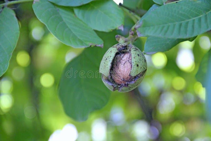 Noz madura no ramo com folhas verdes Amadurecimento de fruto do juglans regia na árvore foto de stock royalty free