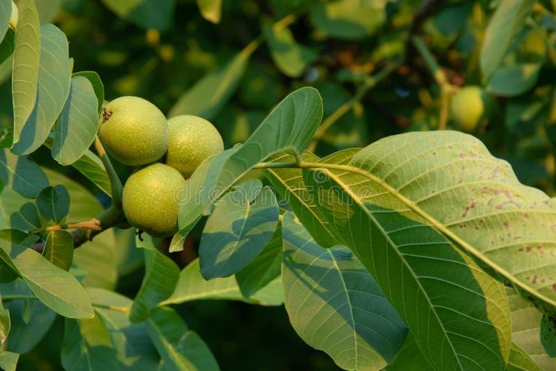 Nozes do verde da árvore no ramo de árvore da noz foto de stock royalty free