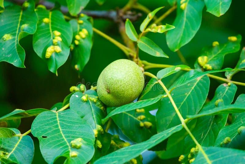 Nozes em uma árvore Praga da doença nas folhas da noz Tristriatus Nal de Eriophyes ou ácaro de bílis de noz imagens de stock