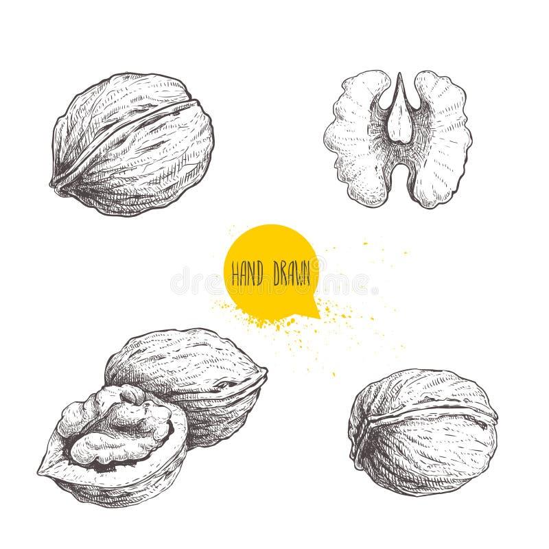 Nozes tiradas mão do estilo do esboço ajustadas Únicos todo, metade e semente da noz Ilustração saudável do vetor do alimento de  ilustração do vetor