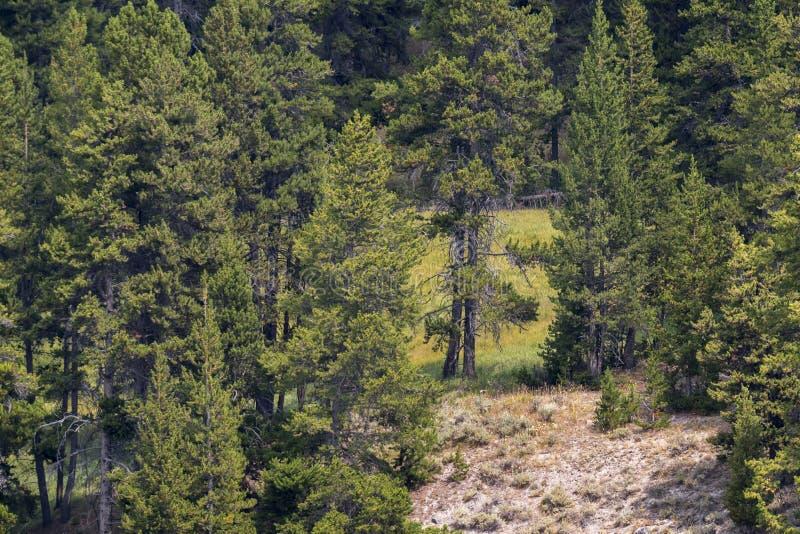 Nr. fünfzehn geschaffen durch die Bäume des Waldes bei Yellowstone in Yellowstone Nationalpark lizenzfreies stockfoto