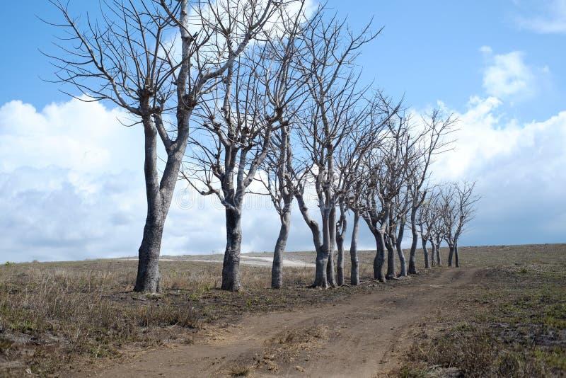 Dry trees on savannah of Lolomogho hill Southwest Sumba. NTT, Indonesia, November 10, 2018: Dry trees on the savannah of the Lolomogho hill, an alternative route royalty free stock images