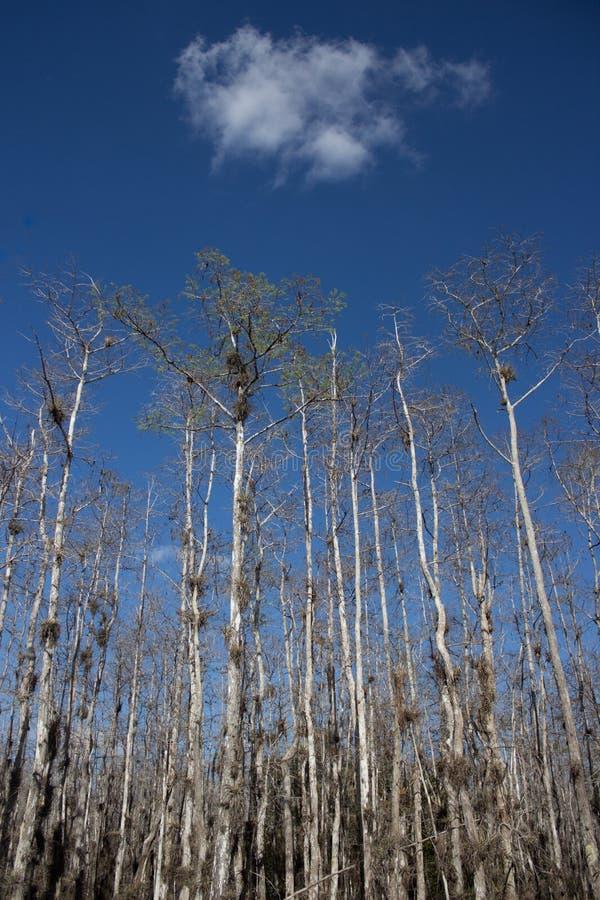 Nuage au-dessus des arbres de cyprès chauve photo libre de droits