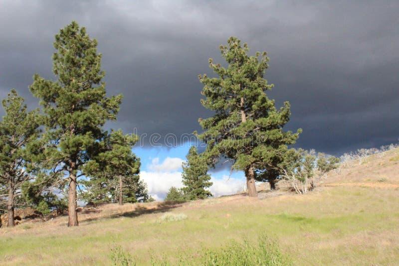 Nuages de tempête au-dessus des pins image libre de droits