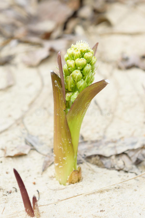 Nuance de Zsolt de fleur peu commune belle images stock