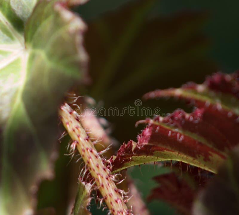 Nuances d'automne Le bégonia ensoleillé part sur un fond mou photo libre de droits
