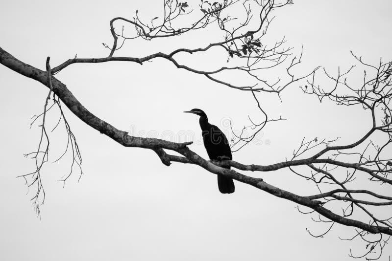 Nuances de gris d'un oiseau noir avec un long bec assis sur une brindille sur un joli fond gris photo stock