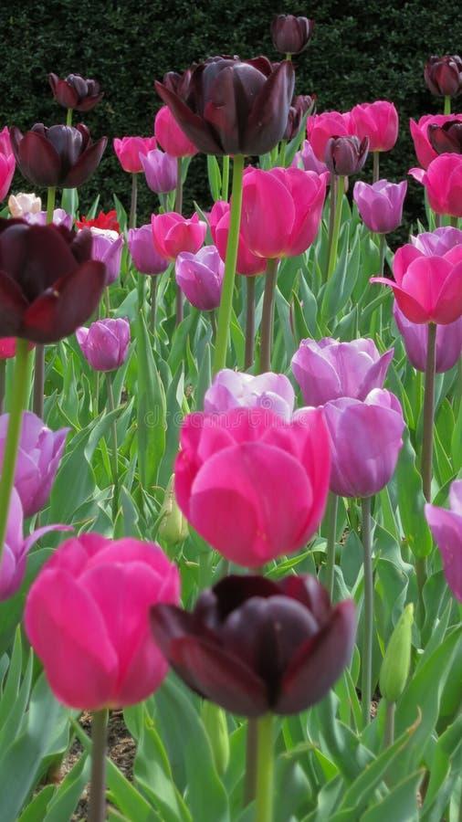 Nuances des tulipes pourpres et roses images stock