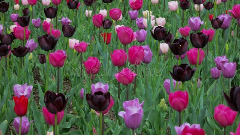 Nuances des tulipes pourpres et roses photographie stock libre de droits