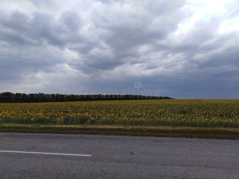 Nubes de lluvia en un campo del girasol foto de archivo
