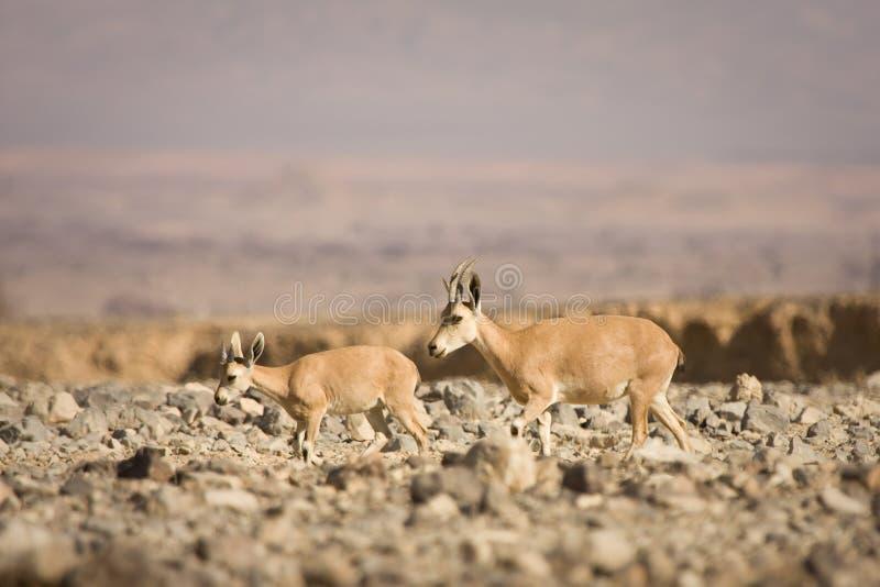 Download Nubian dziecko koziorożec zdjęcie stock. Obraz złożonej z suchy - 10434344