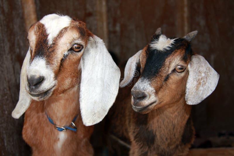 Nubian et chèvres plus aimables image libre de droits