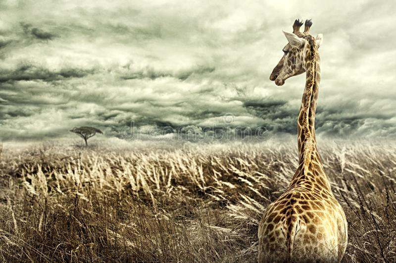 Nubian giraffe walking through tall dry yellow grass towards a tree in distance. Dramatic stormy clouds. Negative space royalty free stock image