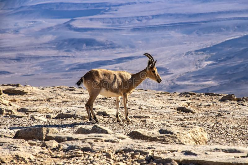 Nubian goat standing on a rocky surface in the background of Ramon Crater stock images