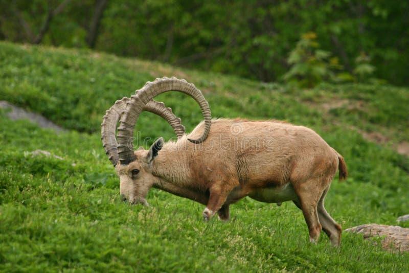 Download Nubian ibex stock image. Image of deer, goat, beige, horns - 283555