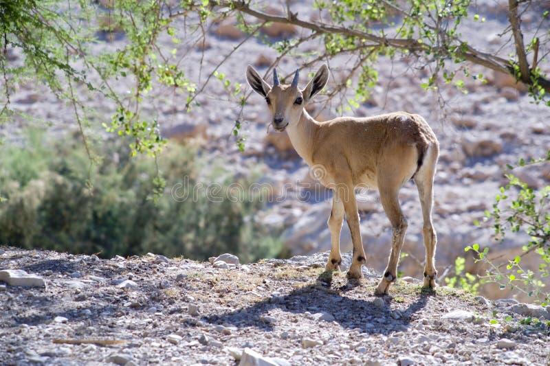 Download Nubian ibex capra stock image. Image of judean, mammal - 5459945
