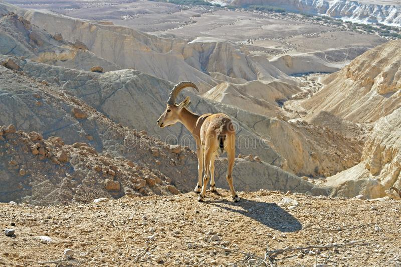 Nubian ibex Capra nubiana sinaitica on background of mountains  in Negev desert of southern Israel.  royalty free stock images
