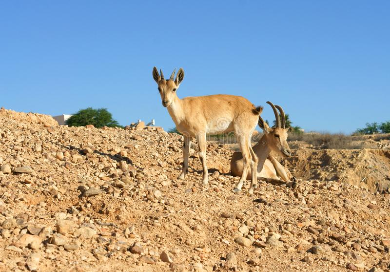 Nubian ibex Capra nubiana sinaitica in Sde Boker. Young ibex and female royalty free stock photography