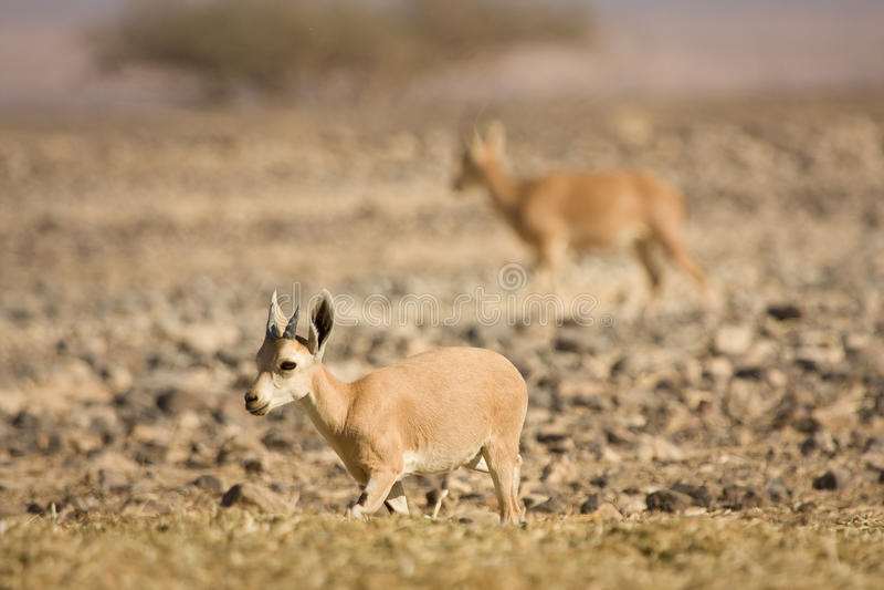 Nubian Ibex Goat Stock Images
