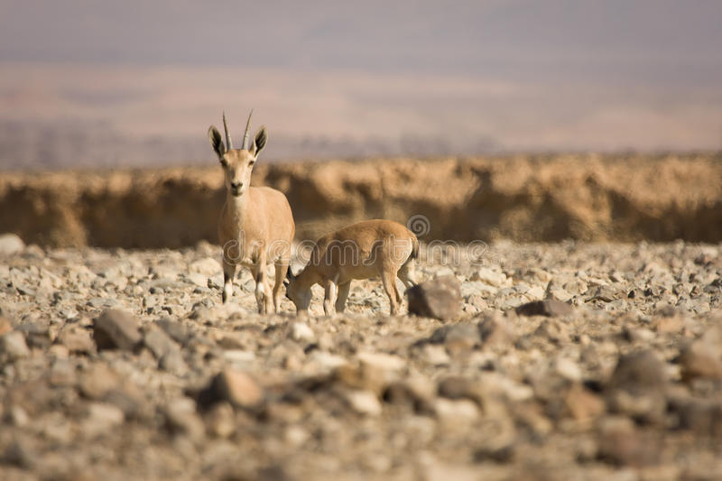 Download Nubian Ibex Goat With Young Royalty Free Stock Photos - Image: 10434438