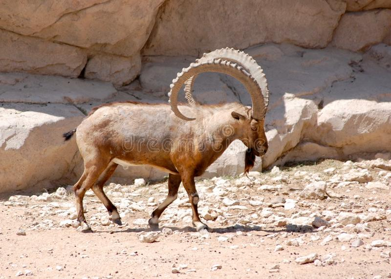 Nubian Ibex walking boldly showing off those impressive horns in the desert stock image