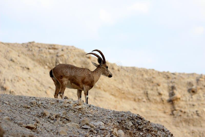 Nubiana della capra in gedi Israele del ein immagine stock