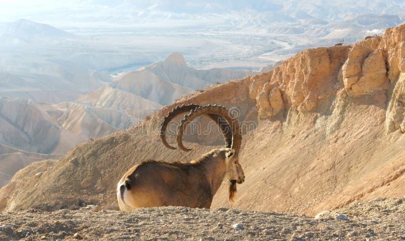 Nubianasinaitica van Capra van de Nubiansteenbok in Sde Boker Oud mannetje op achtergrond van nevelige bergen negev royalty-vrije stock afbeelding