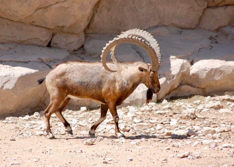 Nubijska koziorożec chodzi śmiało pokazywać daleko tamte imponująco rogi w pustyni obraz stock
