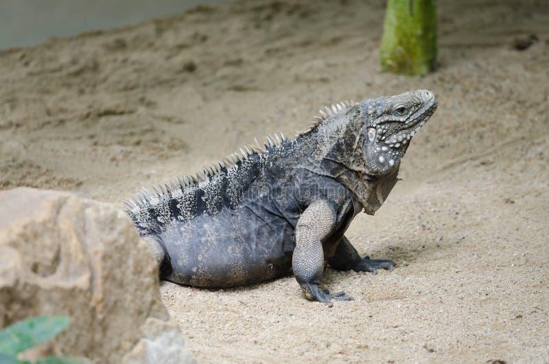 Nubila cubano de Cyclura de la iguana de la roca fotografía de archivo