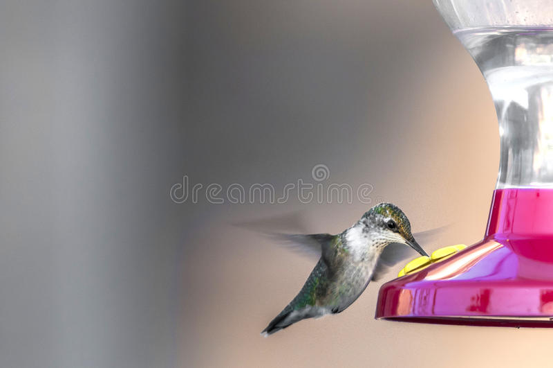 Nucący ptaka (Archilochus colubris) obraz royalty free