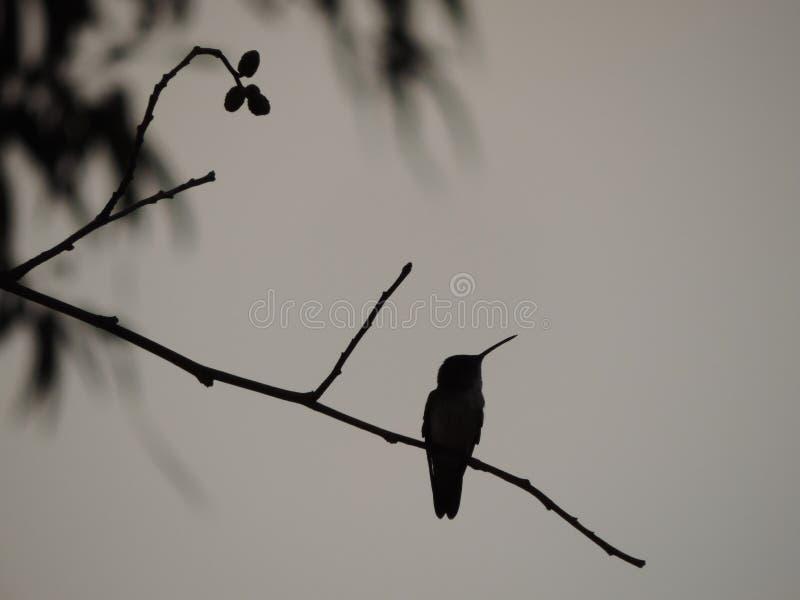 Nucić ptak na gałąź w Peru obraz stock