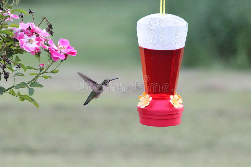 Nucić ptaka zdjęcia royalty free