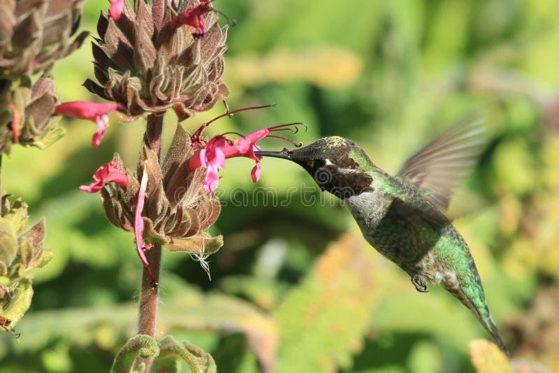 Nucić ptasiego karmienie od kwiatu zdjęcie royalty free