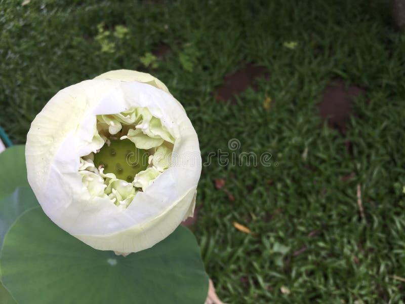 Nucifera tropical de florescência do Nelumbo dos lótus brancos fotos de stock royalty free