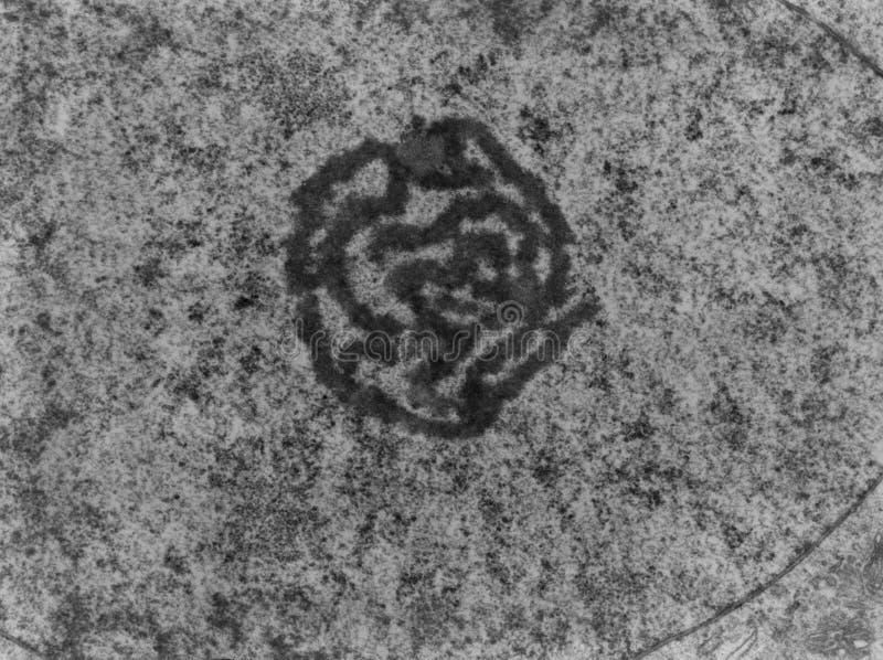 Nucléolo, TEM fotografía de archivo