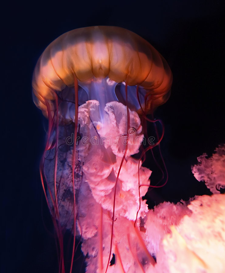 Nuclear Jellyfish. Colorful swimming jellyfish