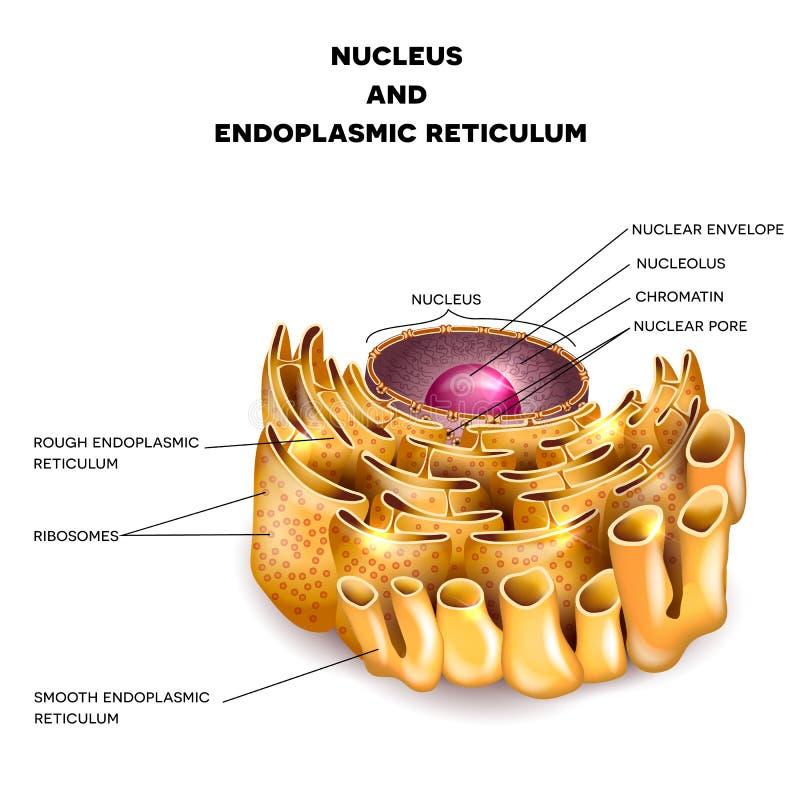 Nucleo e reticolo endoplasmatico delle cellule royalty illustrazione gratis