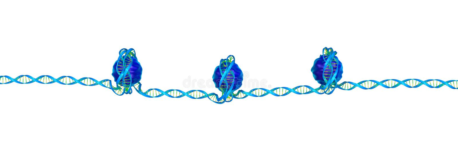Nucleosome. A nucleosome is a basic unit of DNA packaging in eukaryotes, consisting of a segment of DNA wound in sequence around eight[1] histone protein cores.[ stock illustration